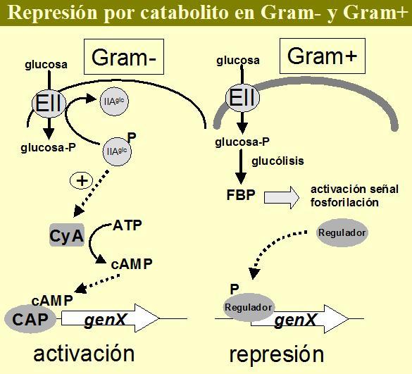Iii 1 la represi n por catabolito de carbono en bacterias - Energias positivas y negativas ...