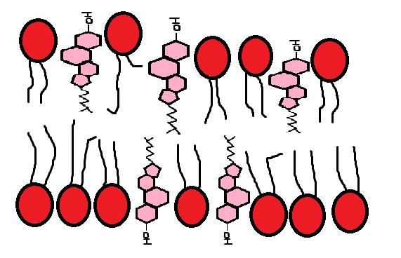 colesterol intercalado entre los fosfolipidos de la membrana celular