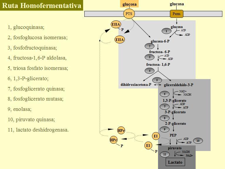 Esquema de la fermentación homoláctica