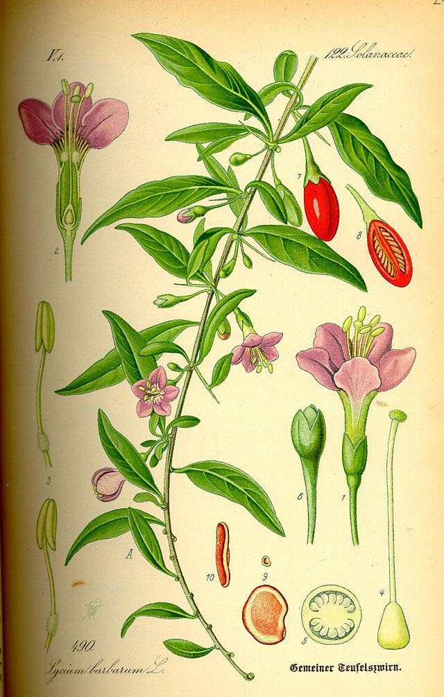 ilustración botánica de la planta goji